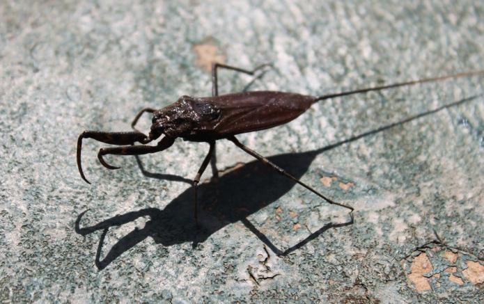 another dying waterbug / moshi . tanzania 2551