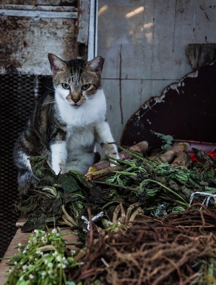 colon market cat