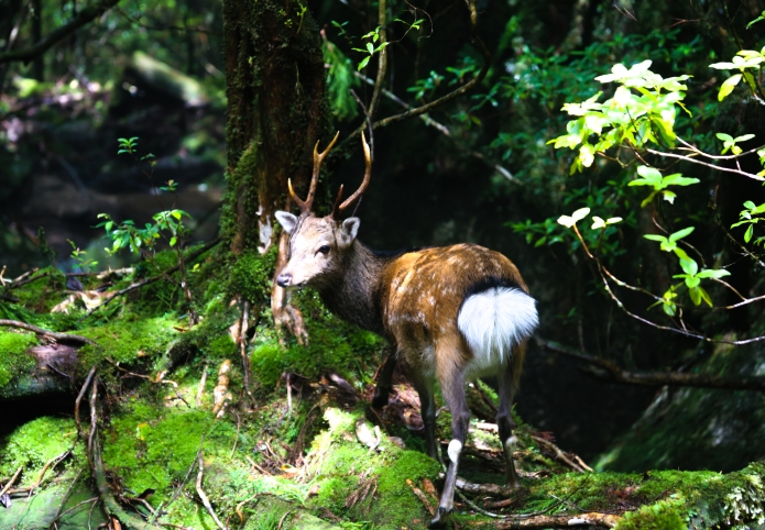 mystical and endemic yakushika-deer