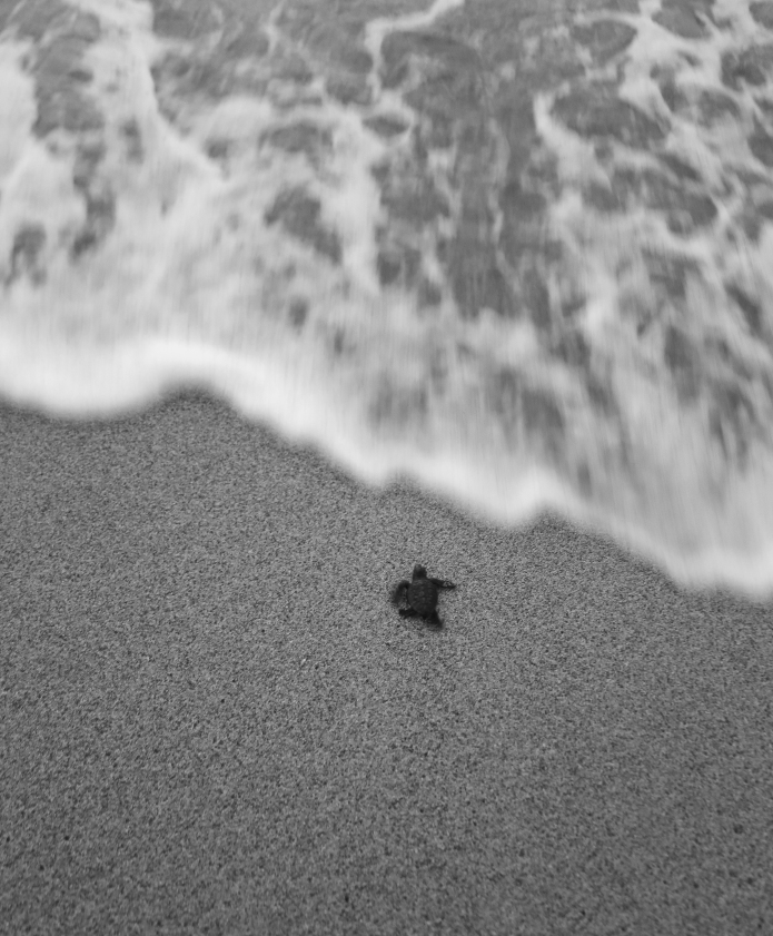 welcome life . welcome school ov hard knocks [ newly hatched sea turtle ]