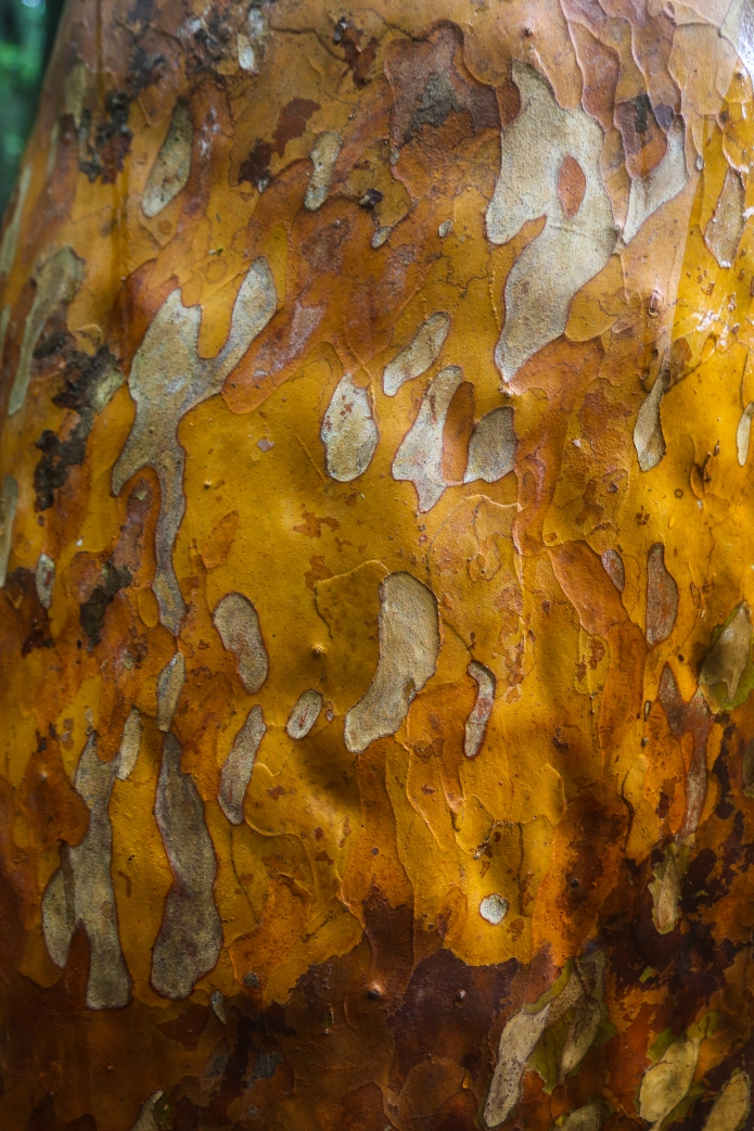 redwood .ii